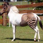 Eclyse, la cebra-caballo