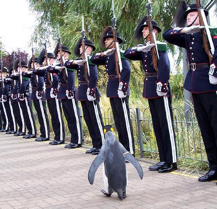 pinguino coronel