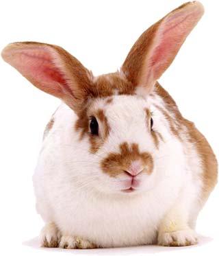 Imagen de conejo