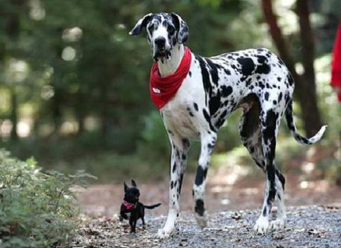 Foto del Perro mas grande del mundo