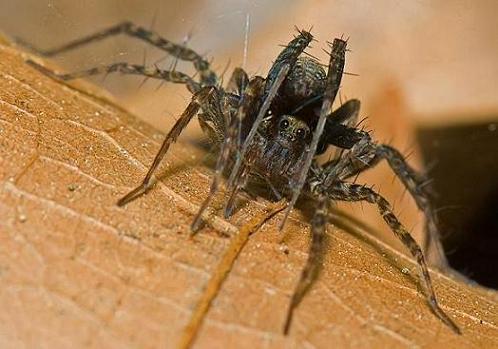 Las 5 arañas mas venenosas del planeta