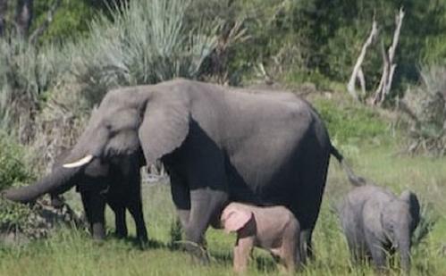 Foto de una cría de elefante rosado