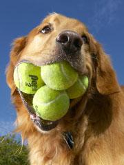augie-record-de-perro-con-pelotas-de-tenis-en-boca