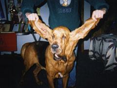 el-perro-con-las-orejas-mas-grandes