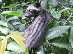 Civeta asiatica o Luwak