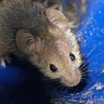 Los ratones más caros del mundo