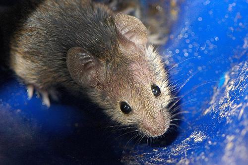 foto de raton Mus Musculus