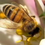 Las abejas y la desaparición de la vida en la Tierra