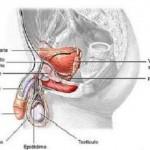 ¿Para qué sirve la próstata?