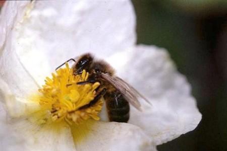 La capacidad de contar de las abejas
