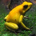 La rana más mortífera del mundo, la rana dardo