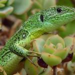 La vitamina E y el sex appeal del lagarto verde