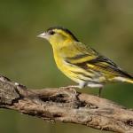 Los pájaros más sexis y más listos
