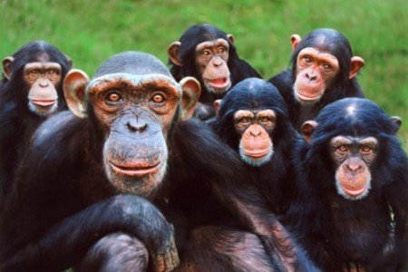 Curiosidades sobre los chimpancés