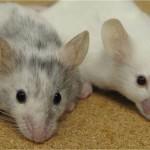El comportamiento solidario de las ratas