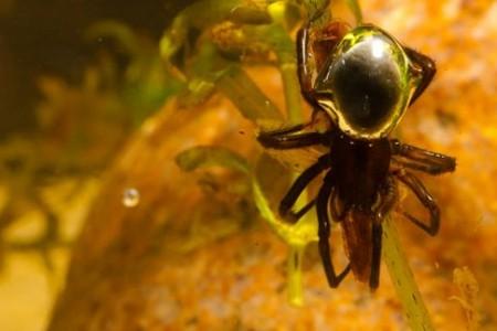 Arañas que respiran debajo del agua
