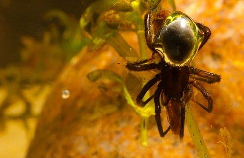 La araña capaz de respirar debajo del mar