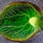 Babosa esmeralda, fotosíntesis animal