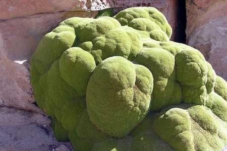 Yareta, la extraña planta andina