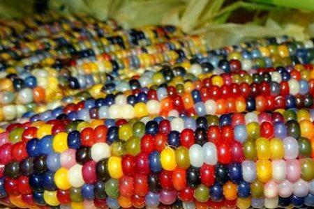 El asombroso maíz Gema de Vidrio